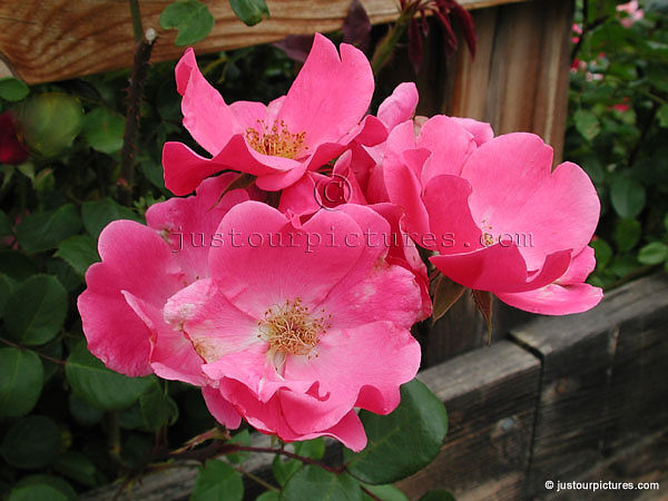 betty prior rose just our pictures of roses. Black Bedroom Furniture Sets. Home Design Ideas
