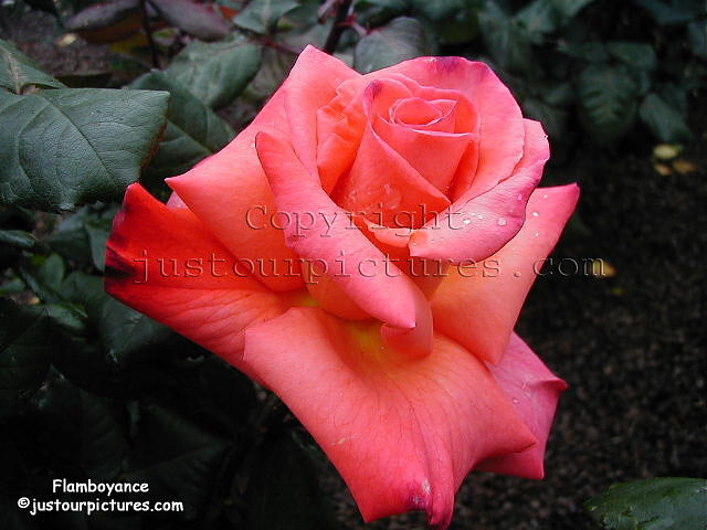 Just Our Pictures Of Roses Christopher Columbus Rose