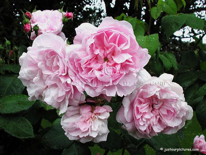 fantin latour centifolia rose just our pictures of roses. Black Bedroom Furniture Sets. Home Design Ideas