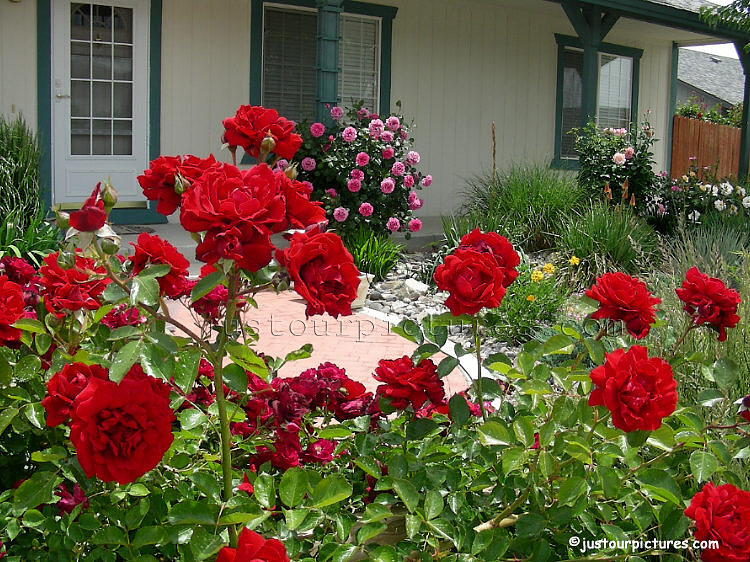 Front Yard Landscaping Roses : Just our pictures of gardens front yard rose garden