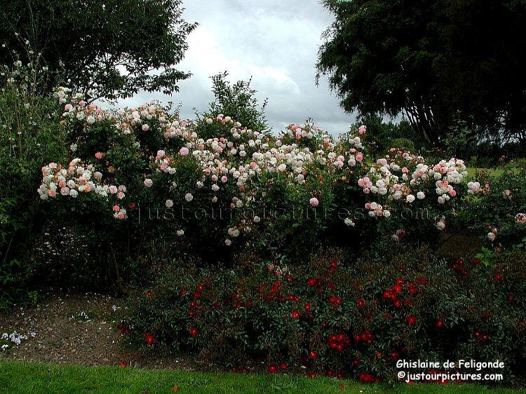 Just Our Pictures Of Gardens Ghislaine De Feligonde Rose