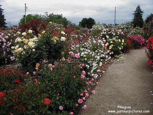 Just Our Pictures Of Roses Modern Roses Bushes From The Sjhrg